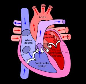 Circolazione cardiaca